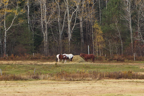 Horses grazing near the Mount Washington Hotel, New Hampshire - October 21st, 2017