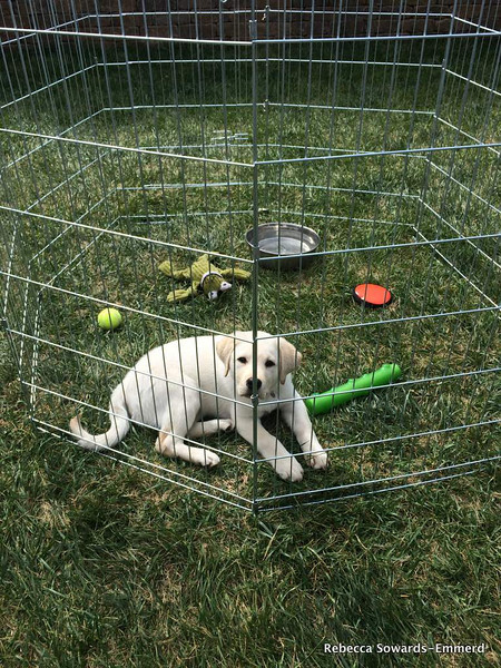 Puppy jail comes with many amenities: soft grass, fresh water, lots of toys, and sunshine.