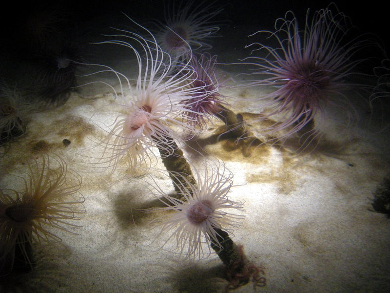 Sea Pens<br /> <br /> They look like muppets!