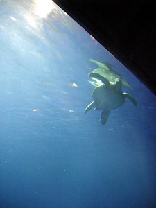 A sea turtle in the giant tank