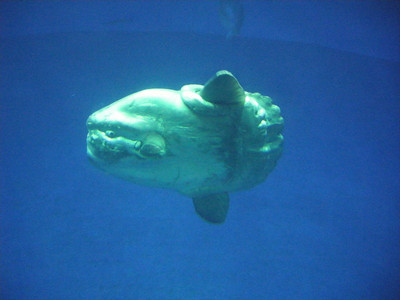 A scary looking giant sunfish