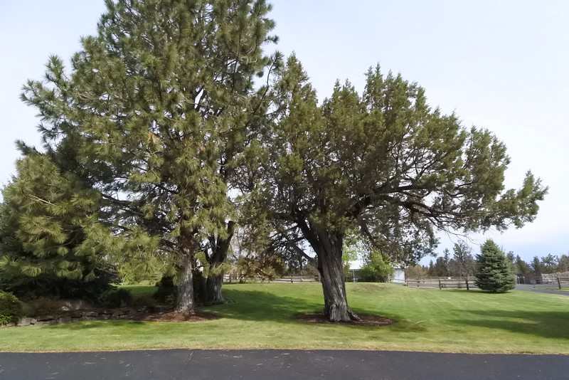 Old junipers - beautiful smelling trees!