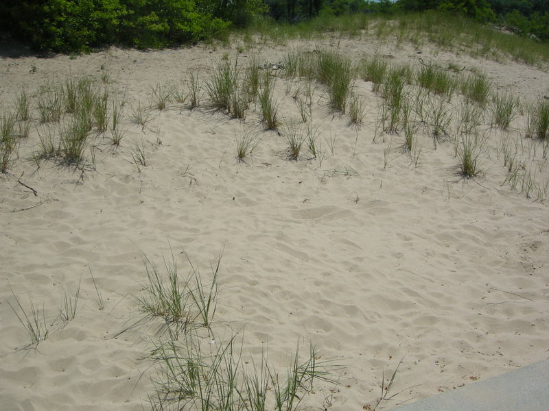 Beach grass<br /> <br /> This stuff poked in the feet so many times when I was little...