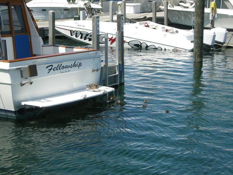 Baby ducks in the marina