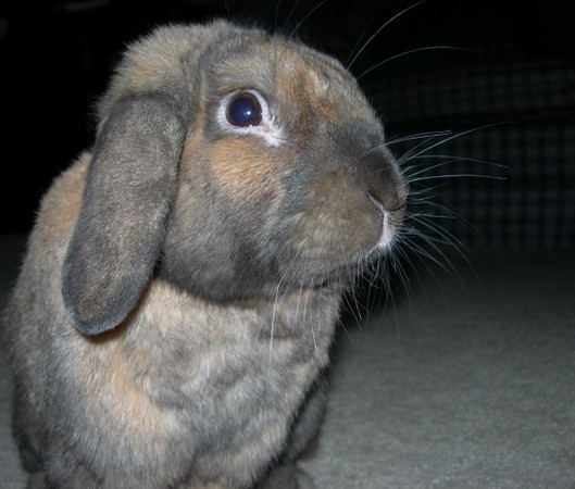 Riesling the Rabbit