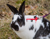 Johns rabbit Kinder on his harness playing in the backyard, plotting his escape?