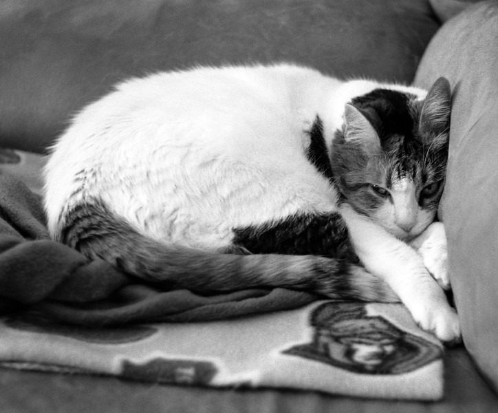 The wifes cat Callie. <br /> <br /> Just cant seem to get a sharp image of the cats when shooting film.<br /> <br /> Leica M5 loaded with Kodak Double X developed in HC-110 Dil B for 6 minutes at 19C