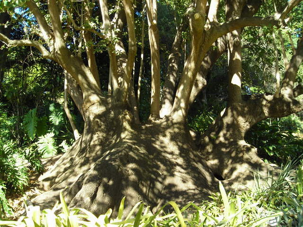 An Ombu Tree<br /> <br /> Argentinian Tree used as shelters by gauchos (totally didn't make that up - it was on a sign!)