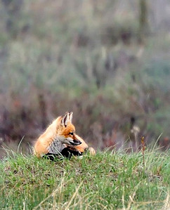 Baby foxes  Copyright (C) 2008 Doug Wieringa
