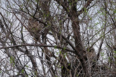 Great Horned Owl chicks  Copyright (C) 2008 Doug Wieringa