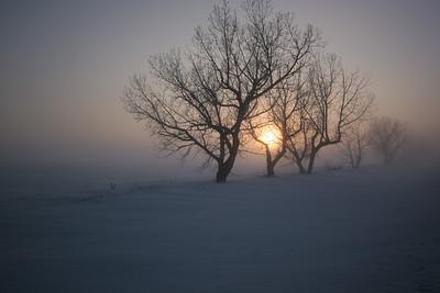 Foggy trees near Beiseker