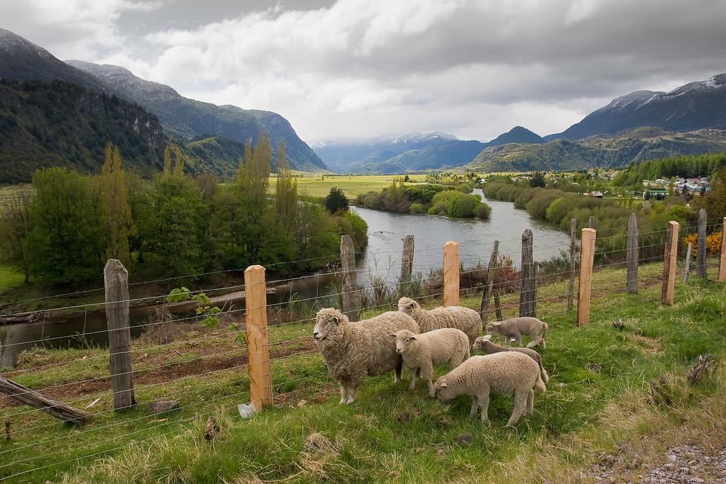 Sheep along the Carretera Austral