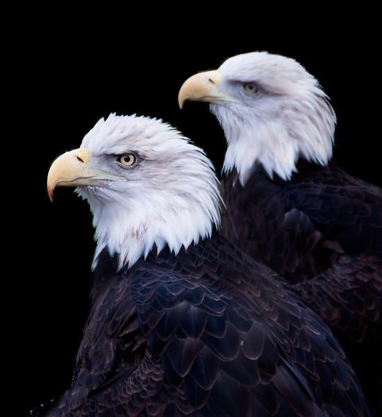 Rescued, captive bald eagles at the Ecotarium