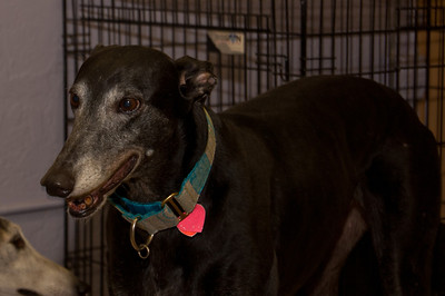Greyhounds from the Friends of Greyhounds adoption facility in Hialeah, FL.