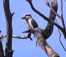 Kookaburra looking for dinner.