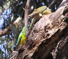 Red-rumped parrots tending their nest