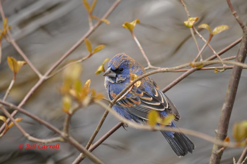 Blue Grosbeak - April 28, 2012 - Shubie Park, Dartmouth, NS (Photo Bill Carroll)