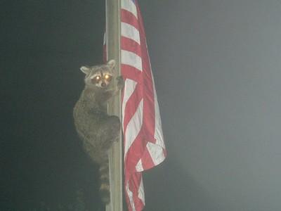 05 Raccoon on flag pole