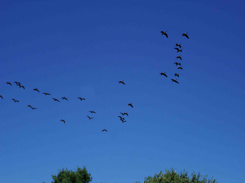 CANADIAN GEESE FLYBY<br /> After missing the morning goat herding, I went in and got my camera just in time to catch this flight of Canadian Geese flying overhead. I just love it in the country.