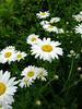 Oxeye Daisies (<i>Chrysanthemum leucanthemum</i>)