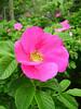 Rugosa Rose (<i>Rosa rugosa</i>)