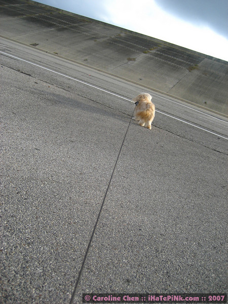 When taking breaks, Happy kept straining against the leash to run out onto the highway. Talk about a dog with a deathwish ...