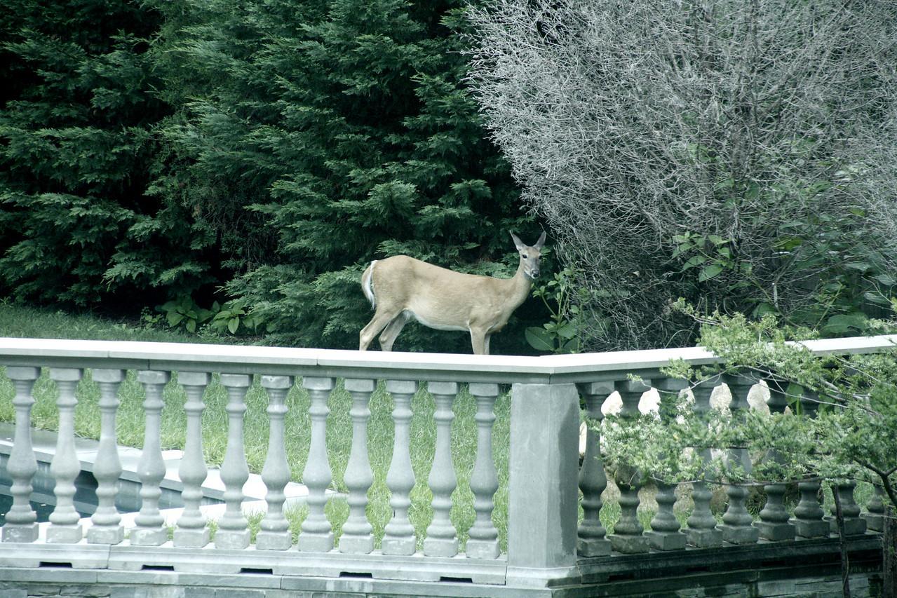 Deer?