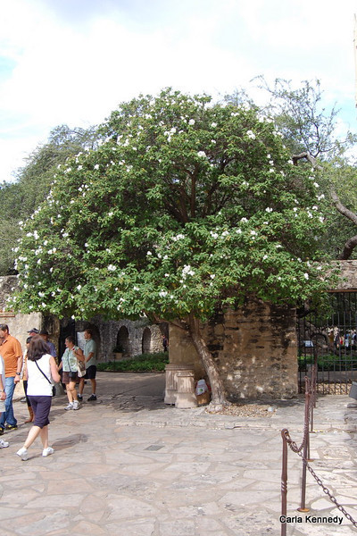 Some kind of tree there on the Alamo grounds