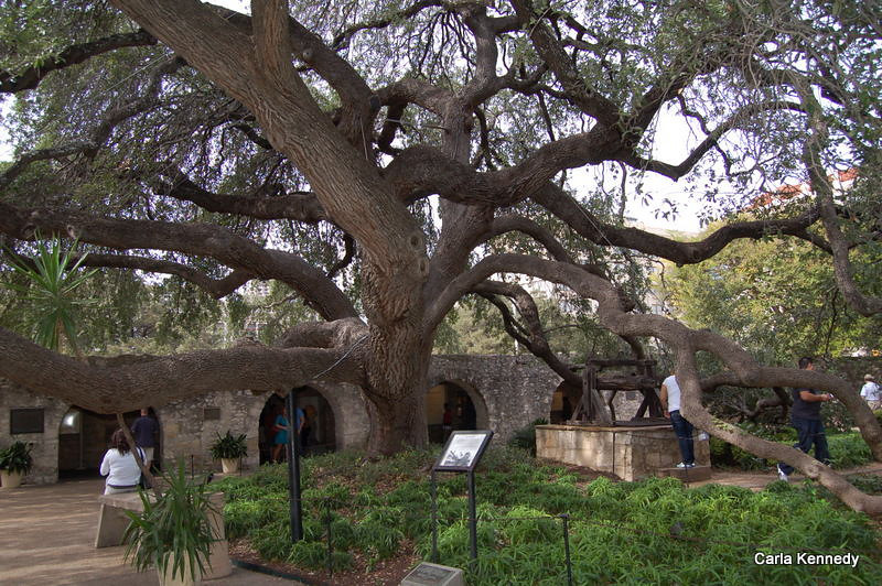 Cool Live Oak tree<br /> It was 40 years old when transplanted at the Alamo in 1912<br /> branches are 50+ long and the base is 12 ft in diameter
