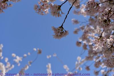 20140323 - UW Cherry Blossoms