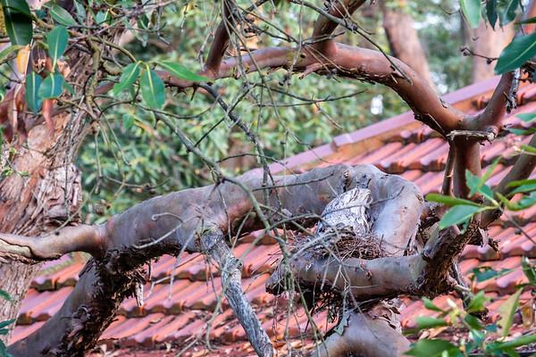 2017 Tawny Frogmouth Owl