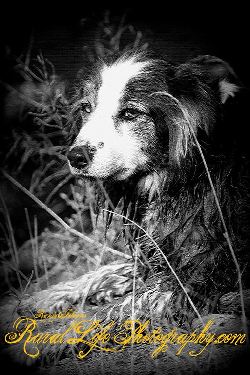 Kayser Cow Dog