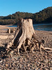 some knarly old stump exposed by the low water level