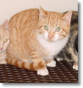 Spanky adopted,  3-6-04<br /> Spanky is a six month old Handsome Red and White Tabby boy.