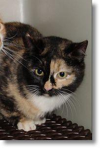 Alfalfa got adopted,  3-7-04<br /> Alfalfa is a six month old Tortoiseshell and white girl.