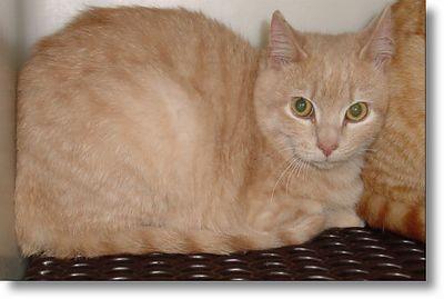 Buckwheat got adopted,  3-8-04<br /> Buckwheat is a six month old Buff Tabby boy.