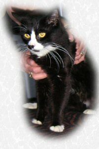 Lucky is adopted. 8/3/04<br /> <br /> Lucky is a sensitive boy and a bit camera shy when the flash goes off. But if you're not pointing the camera at him he's very sweet and loving. Maine Coon/Max Cross.