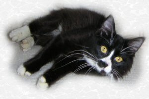 Whiskers, also known as Bob is adopted,  7-30-04<br /> This is one of the friendest most out going cat ever.  He comes to everyone and offers a love.  It's impossible not to love him back.  He's  is a Manx  with four white feet. <br /> He's pretty special.