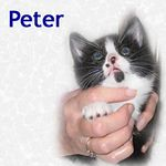 Peter adopted 12/12/04.  Peter was the first of our stowaway kittens to find a home.