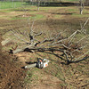 Continuing to clear the orchard of the old, half dead trees, making rom for new ones. Tractor rips them out with the roots. Cutting them into pieces for easy transport to the burn pile.<br /> January 28, 2010
