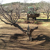 Continuing to clear the orchard of the old, half dead trees, making rom for new ones.<br /> January 28, 2010