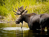 A moose in Grand Teton National Park.