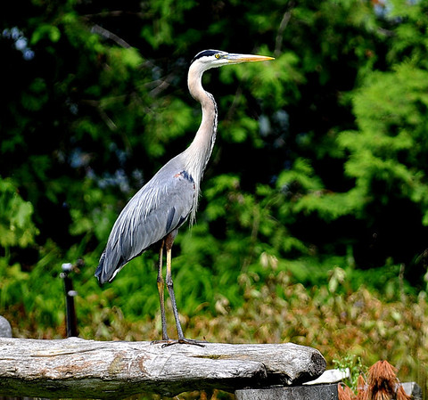 Great Blue Heron at the fire pit.  Full frame picture taken with a 450mm f2.8 lens on a tripod.