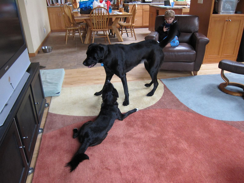 Pepper and Jilly in the living room.  Pepper outweighs Jilly by more than 65 lbs!