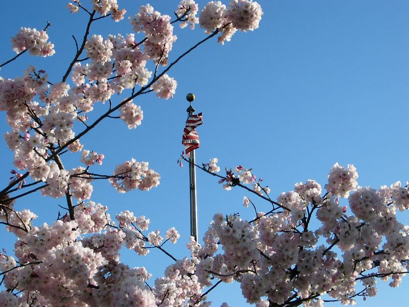 Cherry blossoms and the U.S. flag