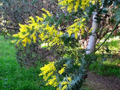 Acacia in bloom