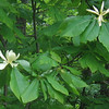 Mountain Magnolia (Magnolia fraseri)
