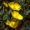 California Bush Poppy