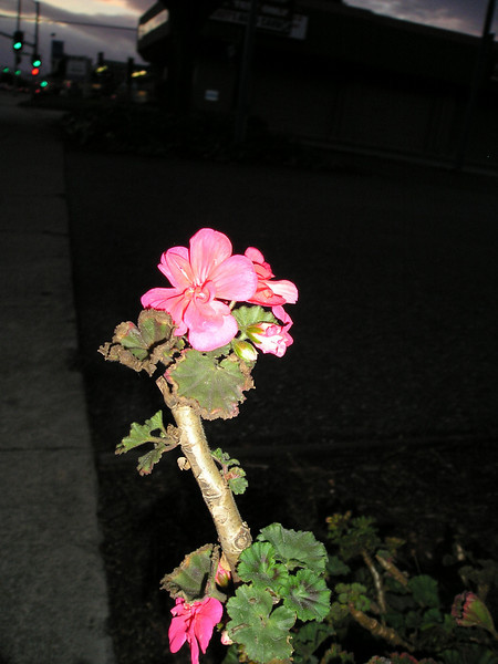 Lone geranium blooming along all the pavement.