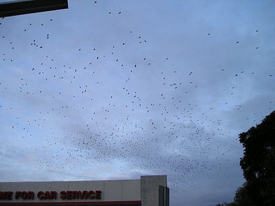 Holy Hitchcock, look at all those crows rising from the trees!